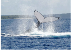 whale watching in tonga